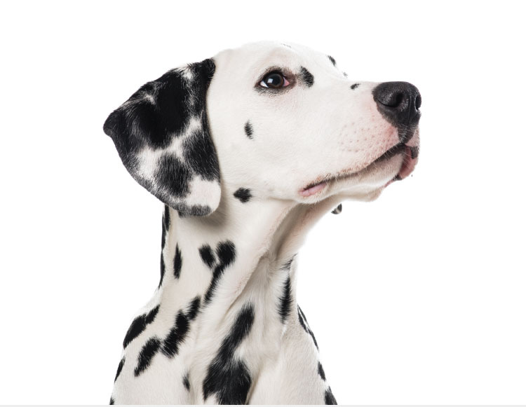 Dalmatian canine looking to the right